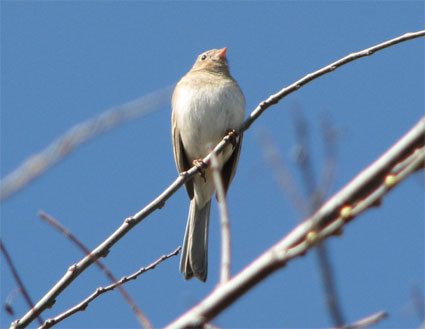 http://indiemusicpeople.com/uploads2/104597_4_20_2008_6_55_04_PM_-_mockingbird_10-22-07_on_branch.jpg