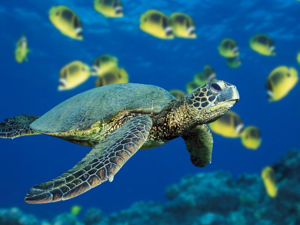 http://indiemusicpeople.com/uploads2/77740_12_7_2008_7_58_23_PM_-_Green_Sea_Turtle.jpg