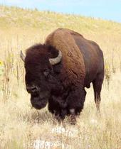 http://indiemusicpeople.com/uploads2/its_a_buffalo_-_buff_buff_pic_pic.jpg